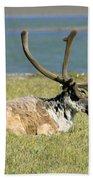 Caribou Resting Beach Sheet