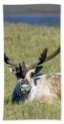 Caribou Resting In Tundra Grass Beach Towel