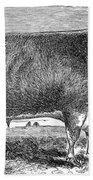Cattle, C1880 Beach Towel