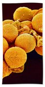 Cedar Pollen Sem Beach Towel by Susumu Nishinaga and SPL and Photo Researchers