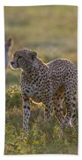 Cheetah Acinonyx Jubatus And Jackals Beach Towel