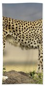 Cheetah Acinonyx Jubatus On Termite Beach Towel by Winfried Wisniewski
