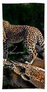Cheetah Cub Finds Her Pride Rock Beach Towel
