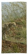 Cheetah On The Prowl Beach Towel
