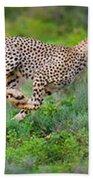 Cheetahs Acinonyx Jubatus Hunting Beach Towel