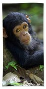 Chimpanzee Pan Troglodytes Baby Leaning Beach Towel