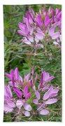 Cleome Sparkler Lavender Beach Sheet