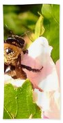 Close Up Bumble Bee Climbing Out Of Hibiscus Flower Beach Towel