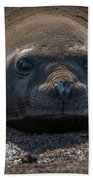 Close-up Of Elephant Seal Looking At Camera Beach Towel