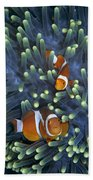 Clown Anemonefish Amphiprion Ocellaris Beach Towel