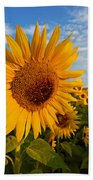 Colby Farms Sunflower Field Newbury Ma Sunrise Beach Towel