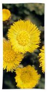 Common Coltsfoot  Beach Towel