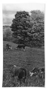 Congregating Cows. Jenne Farm Cow Reading Vermont Black And White Beach Towel