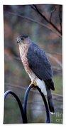 Coopers Hawk In Autumn Beach Towel