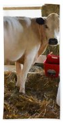 Cow And Little Calf Beach Towel