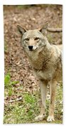 Coyote In Cades Cove Beach Towel