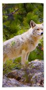 Coyote In The Rocky Mountain National Park Beach Towel