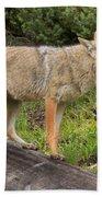 Coyote On A Log Closeup Beach Towel