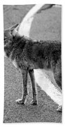 Coyote On The Road Beach Towel
