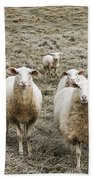Curious Sheep Beach Towel