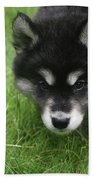 Curiousity Filled Look In The Face Of An Alusky Beach Towel