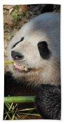 Cute Panda Bear With Very Sharp Teeth Eating Bamboo Beach Towel