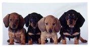 Dachshund Puppies  Beach Towel