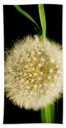 Dandelion's Seed Head. Beach Towel