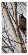Dark-morph Western Red-tailed Hawks Beach Towel