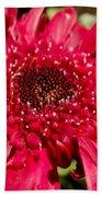 Dark Red Gerbera Daisy Beach Towel