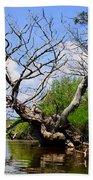 Dead Cedar Tree In Waccasassa Preserve Beach Towel