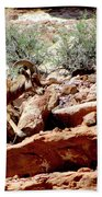 Desert Bighorn Ram Walking The Ledge Beach Towel