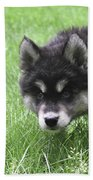 Dew Drops On The Nose Of An Alusky Puppy Dog Beach Towel