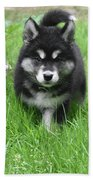Dinstinctive Black And White Markings On An Alusky Pup Beach Towel