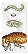 Dog Flea, Lifecycle, Illustration Beach Towel