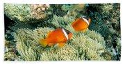 Dusky Clownfish Beach Towel