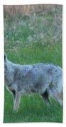 Eastern Coyote In Meadow   Beach Towel