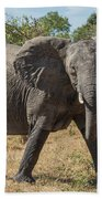 Elephant Crossing Dirt Track Facing Towards Camera Beach Towel