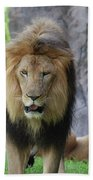 Expressive Male Lion Prowling Around In Nature Beach Towel