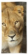 Eyes Of The Lioness Beach Towel