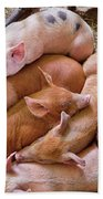 Farm - Pig - Five Little Piggies And A Chicken  Beach Towel