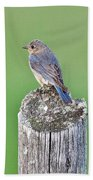 Female Eastern Bluebird 4479 Beach Towel