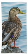 Female Mallard At The River Beach Towel