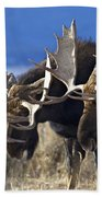 Fighting Moose Beach Towel