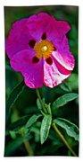 Orchid Rock Rose At Pilgrim Place In Claremont-california  Beach Towel