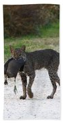Florida Bobcat Catches An Evening Snack Beach Towel