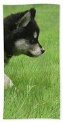 Fluffy Alusky Puppy Stalking In Green Grass Beach Towel