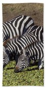 Four For Lunch - Zebras Beach Towel