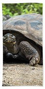 Galapagos Giant Tortoise Walking Down Gravel Path Beach Towel