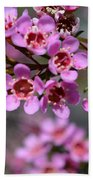 Geraldton Wax Flowers, Cwa Pink - Australian Native Flower Beach Towel